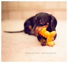 Dachshunds love to chew.