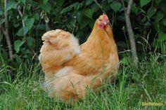 orpington høne. Det er sådan nogen høns jeg skal have.