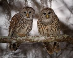 Pair of Barred Owls by Michael Pancier Photography