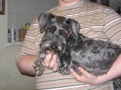 Petango.com - Meet Travis, 10y 5m Schnauzer, Miniature available for adoption in DAYTON, OH