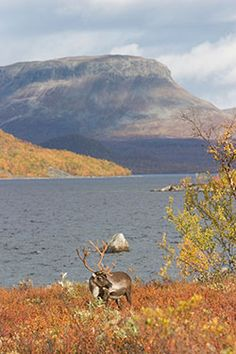 A reindeer in front of Lake Kilpisjärvi and Saana Fell