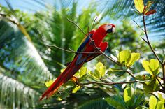 Just after first light, we invite you on a quest to discover the world of incredible variety, of the ''Birds of Corcovado'' Corcovado National Park, Bird Species, Tropical Garden, The Incredibles, Birds, Tours, Early Bird, Scarlet, Costa Rica