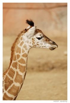 Fonds d'écran Animaux > Fonds d'écran Girafes Girafe .2 par chesterfield - Hebus.com
