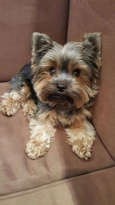 Yorkshire Terrier Puppies are the cutest dogs in the world that come from Yorksh. - My Fur Baby - Puppies Teacup Pomeranian Puppy, Yorkie Puppy, Teacup Puppies, Cute Puppies, Cute Dogs, Dogs And Puppies, Poodle Puppies, Spaniel Puppies, Cute Small Dogs