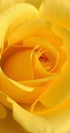 "Whenever I see a yellow rose, I think of my Dad. He called me ""The Yellow Rose of Texas"". Flowers Nature, My Flower, Pretty Flowers, Yellow Flowers, Pink Roses, Foto Rose, Shades Of Yellow, Mellow Yellow, Beautiful Roses"
