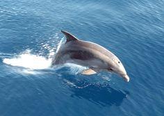 Des grands dauphins de la Manche contaminés par les PCB