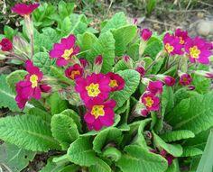 A Primula x polyantha é uma espécie de herbácea pertencente a família botânica Primulaceae nativa da Europa que se adaptou muito bem ao nosso clima. A Primula x polyantha se originou do cruzamento entre as espécies Primula vulgaris, P. acaulis e P. elatior.