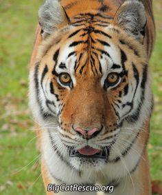 Kali Tiger Invites YOU to today's Big Cat Updateshttps://bigcatrescue.org/july-11-2017/