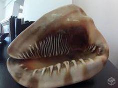 Resultado de imagem para conchas do mar raras