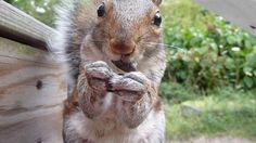 Randi the Squirrel Eats Sunflower Seeds