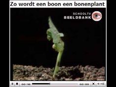 ▶ Groei kieming boon - YouTube
