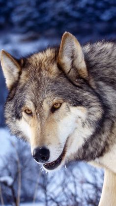 Find the best Wolf Wallpaper for iPhone on GetWallpapers. We have background pictures for you! Wolf Wallpaper, Animal Wallpaper, Mobile Wallpaper, Iphone Wallpaper, Free Live Wallpapers, Wallpaper Free Download, Wolf Canvas, Wolf Photos, Beautiful Wolves
