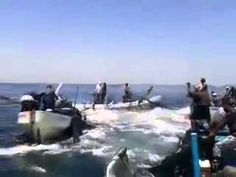 Fish in Gaza sea jumping into fishermen boats during ceasefire. Incredibly amazing blessing from Allah! God is with the righteous Gaza people! We Muslims don't rely or need America, unlike how Israel is dependent upon their corrupt Zionists and the corrupt American govt.