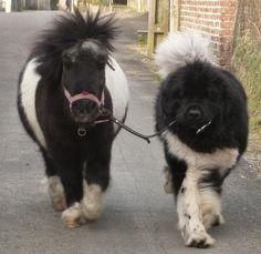 a pony and a Newfoundland..