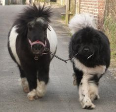 a pony and a Newfoundland