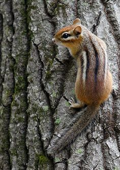 Chipmunk. These little guys are so cute. Haven't see one since I was a kid.