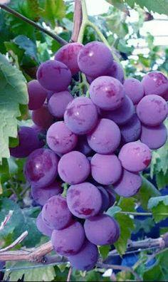 Benefícios da uva para saúde A uva, além de uma fruta muito saborosa, é altamente recomendada para a saúde, já que contém boa fonte de propriedades nutricionais, como a vitamina C e vitaminas do complexo B.