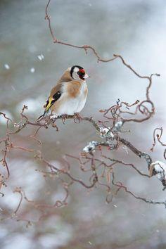 Petit oiseau sur sa branche - A bird, a branch, and snow. Kinds Of Birds, All Birds, Little Birds, Goldfinch, All Nature, Mundo Animal, Winter Wonder, Jolie Photo, Fauna