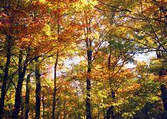 De magnifiques érables en automne.