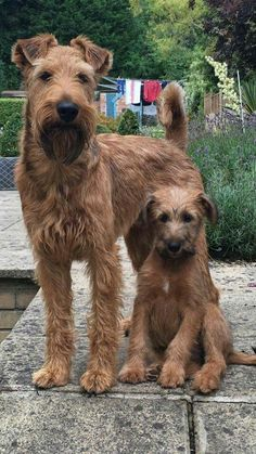 Irish Terriers