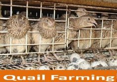 Raising Quail is A Profitable Business Activity | My Pets N…