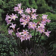 Belladonna Lily or Naked Ladies from American Meadows, your trusted source for Spring Bulbs.  We offer gardeners guaranteed Belladonna Lily or Naked Ladies and all the information and confidence needed to succeed.