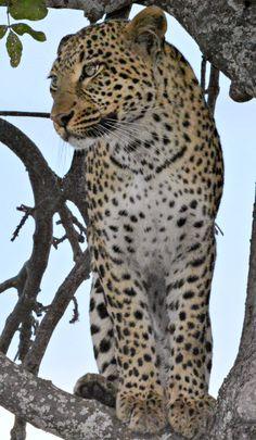 Botswana Leopard (L) (Wil 5800)