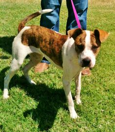 This is Bella #870G. she is a 1-2 year old boxer terrier mix. She is such a sweet and cute pup!