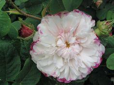 Léda, encore appelée Painted Damask, offre d'abord le plus exquis des boutons, d'un superbe rouge, puis rouge et blanc et enfin blanc ourlé de rouge. La floraison est double, avec de nombreux pétales savamment rangés, d'un blanc laiteux subtilement ourlé de carmin. La floraison en juin est abondante et le parfum délicieux. Un bel arbuste (120-150 cm) très fiable, et sain.  Damascena. Hybrideur inconnu, 1827.