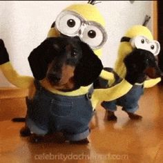 """These dachshunds dressed as Minions will surely make you go """"BA-NA-NA!"""" Full video here: http://gwyl.io/watch-weiner-minions-theyll-steal-heart/"""