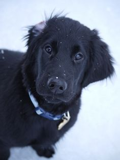 Another photo of super-cute flat-coated retriever puppy, Jett. #dogs, #puppy, #flat-coatedretriever