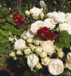 Buy your garden roses online from Pococks Roses. Artemis, White Flowers, Red Roses, Shrub Roses, Ppr, Shrubs, Red And White, Floral Wreath, Wreaths