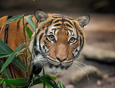 Another stunning portrait of our stunning female #tiger, Tiga.