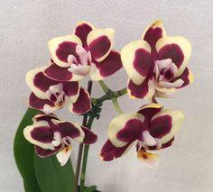 Intra-specific Moth-orchid Hybrid: Close-up of Phalaenopsis Brown Sugar (Phalaenopsis 'Tyler Carlson' x Phalaenopsis 'Brown Penny') Moth Orchid, Phalaenopsis Orchid, Orchid Plants, Orchids, All Flowers, Exotic Flowers, Amazing Flowers, All About Plants, All Plants