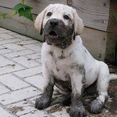 Labrador Retrievers love everything associated with water...including mud