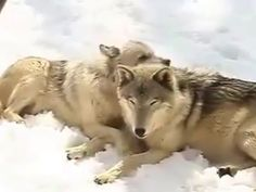 Wolf Love ❤(YouTube)