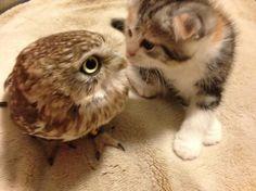 【反則級のかわいさ】フクロウと子猫が仲良く寄せ合う姿に身悶えする人続出!! 大阪のフクロウカフェがTwitterにアップした画像が話題