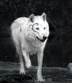 cute baby white wolves with blue eyes - Google Search ...