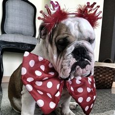 My English Bulldog could never wear anything like that! #adorable