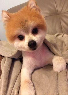 My Pomeranian had to be shaved-- pretty sure the groomer gave me back a stuffed animal.