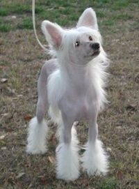 PERRO CRESTADO DE CHINA - CHINESE CRESTED DOG - CHIEN CHINOIS À CRÊTE - CHINESISCHER SCHOPFHOUND - RAZAS DE PERROS EN VENEZUELA - Tap the pin for the most adorable pawtastic fur baby apparel! You'll love the dog clothes and cat clothes! <3