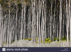 Image result for haast trees