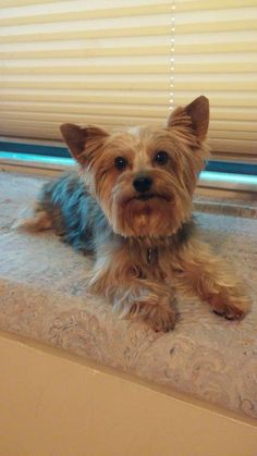 Meet Riley, an adoptable Yorkshire Terrier Yorkie looking for a forever home. If you're looking for a new pet to adopt or want information on how to get involved with adoptable pets, Petfinder.com is a great resource.
