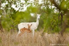 leucistic impala - Zane Engelbrecht Wildlife Photography