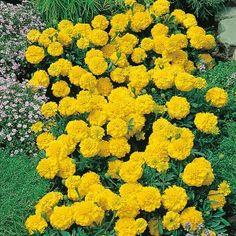 Marigold French Yellow Jacket Mr Fothergills Range Seed - Irish Plants Direct