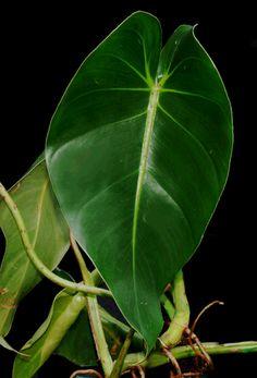 Philodendron cordatum Kunth, Philodendron Angra dos Reis, Photo Copyright 2008, Steve Lucas, www.ExoticRainforest.com