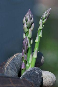 Growing Asparagus 101 - HOMEGROWN