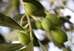 #Olive taggiasche in settembre - quest'annata promette bene!    Taggiasca #olives in September
