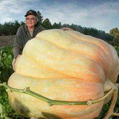Growing Giant Pumpkins is a Growing Hobby - Organic Gardening - Giant Pumpkin, Baby In Pumpkin, Pumpkin Vegetable, Canned Pumpkin, Veg Garden, Vegetable Garden Design, Exotic Fruit, Tropical Fruits, Fruit And Veg