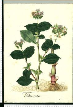 Tradescantia - Dibujos de la Real Ecpedición Botánica del Nuevo Reino de Granada ( 1783-1816 ) dirigida por José Celestino Mutis (Real Jardín Botánico CSIC)